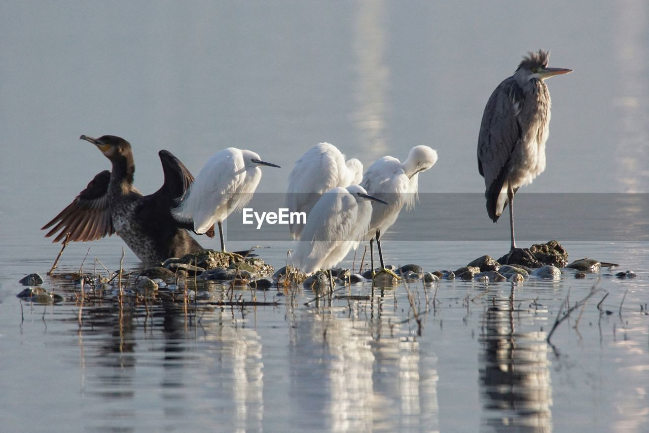 bird, water, group of animals, vertebrate, animals in the wild, lake, animal, animal themes, animal wildlife, reflection, waterfront, nature, no people, beauty in nature, water bird, day, flying, white color, two animals