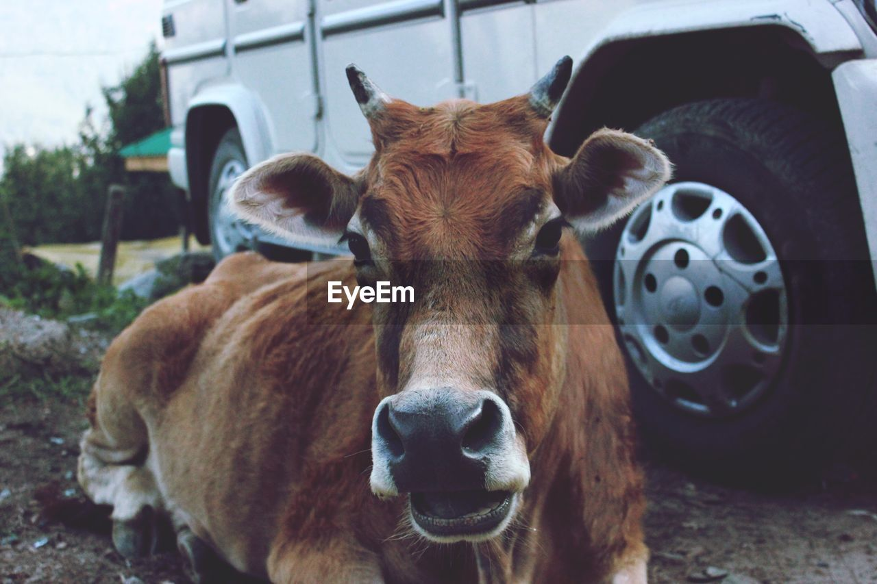 animal themes, animal, mammal, domestic animals, livestock, domestic, vertebrate, pets, cattle, cow, one animal, looking at camera, portrait, brown, day, domestic cattle, no people, close-up, focus on foreground, animal head, outdoors, herbivorous, snout, animal nose