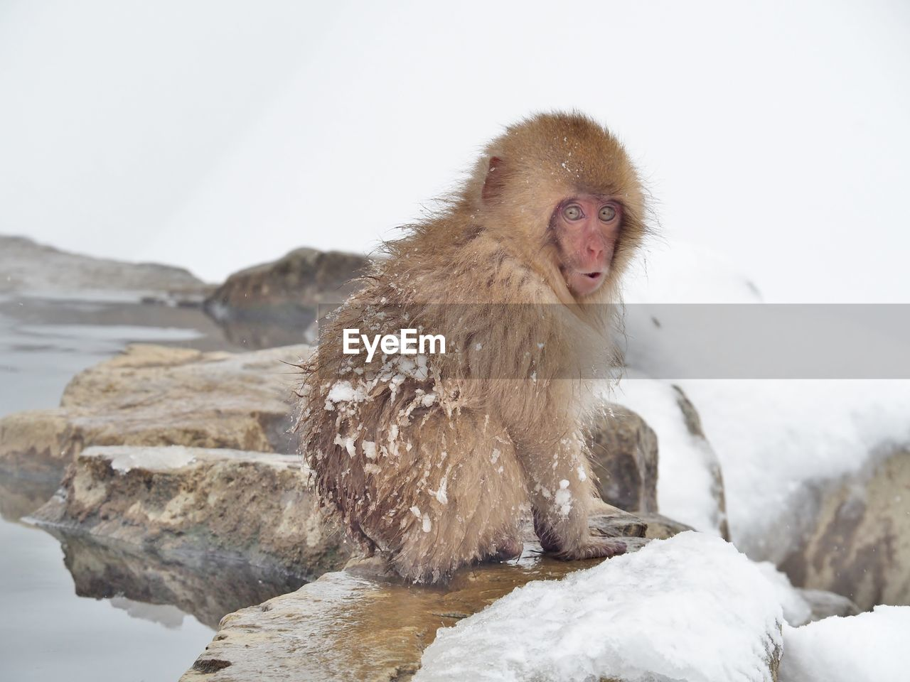 winter, cold temperature, snow, rock - object, animal themes, japanese macaque, animals in the wild, one animal, monkey, mammal, water, nature, outdoors, day, animal wildlife, no people, beauty in nature, hot spring
