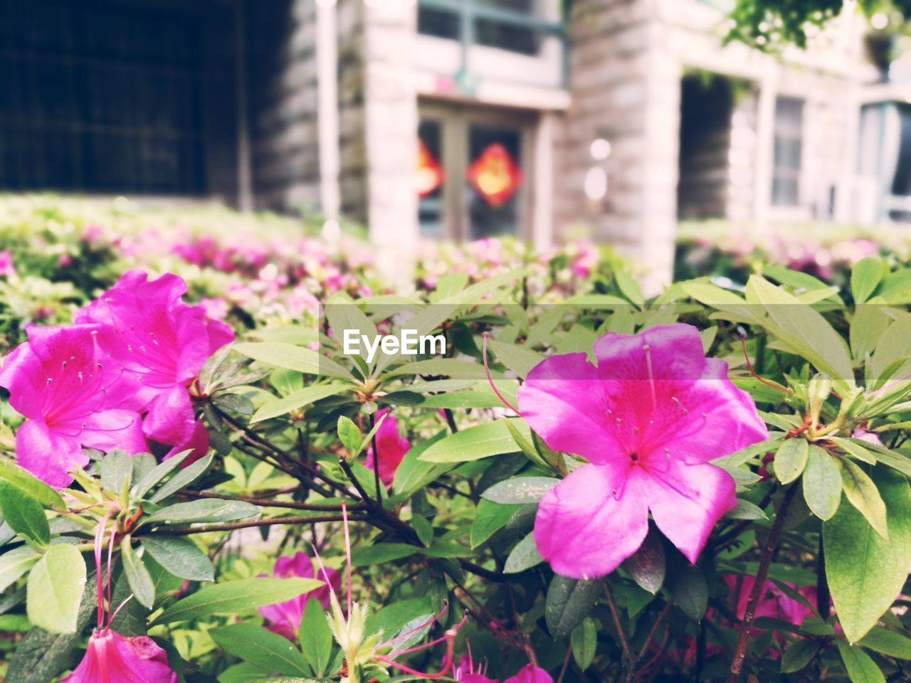 flower, growth, fragility, plant, flower head, petal, beauty in nature, nature, freshness, blooming, no people, leaf, outdoors, pink color, building exterior, day, architecture, focus on foreground, built structure, close-up, petunia, periwinkle