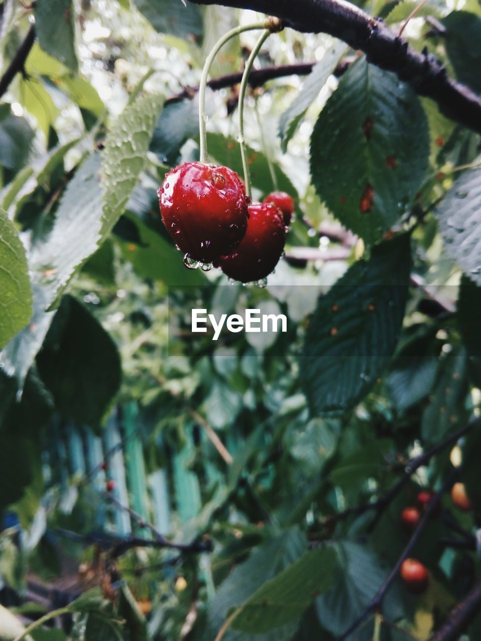 fruit, red, growth, berry fruit, food and drink, nature, leaf, freshness, tree, beauty in nature, outdoors, rose hip, focus on foreground, no people, day, green color, food, healthy eating, plant, close-up, rowanberry, branch