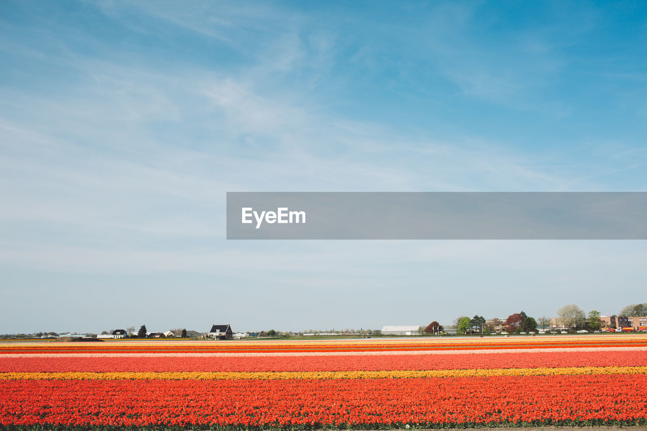 landscape, plant, beauty in nature, sky, field, environment, agriculture, land, tranquil scene, tranquility, no people, scenics - nature, nature, rural scene, day, growth, red, farm, non-urban scene, cloud - sky, outdoors, flowerbed, plantation
