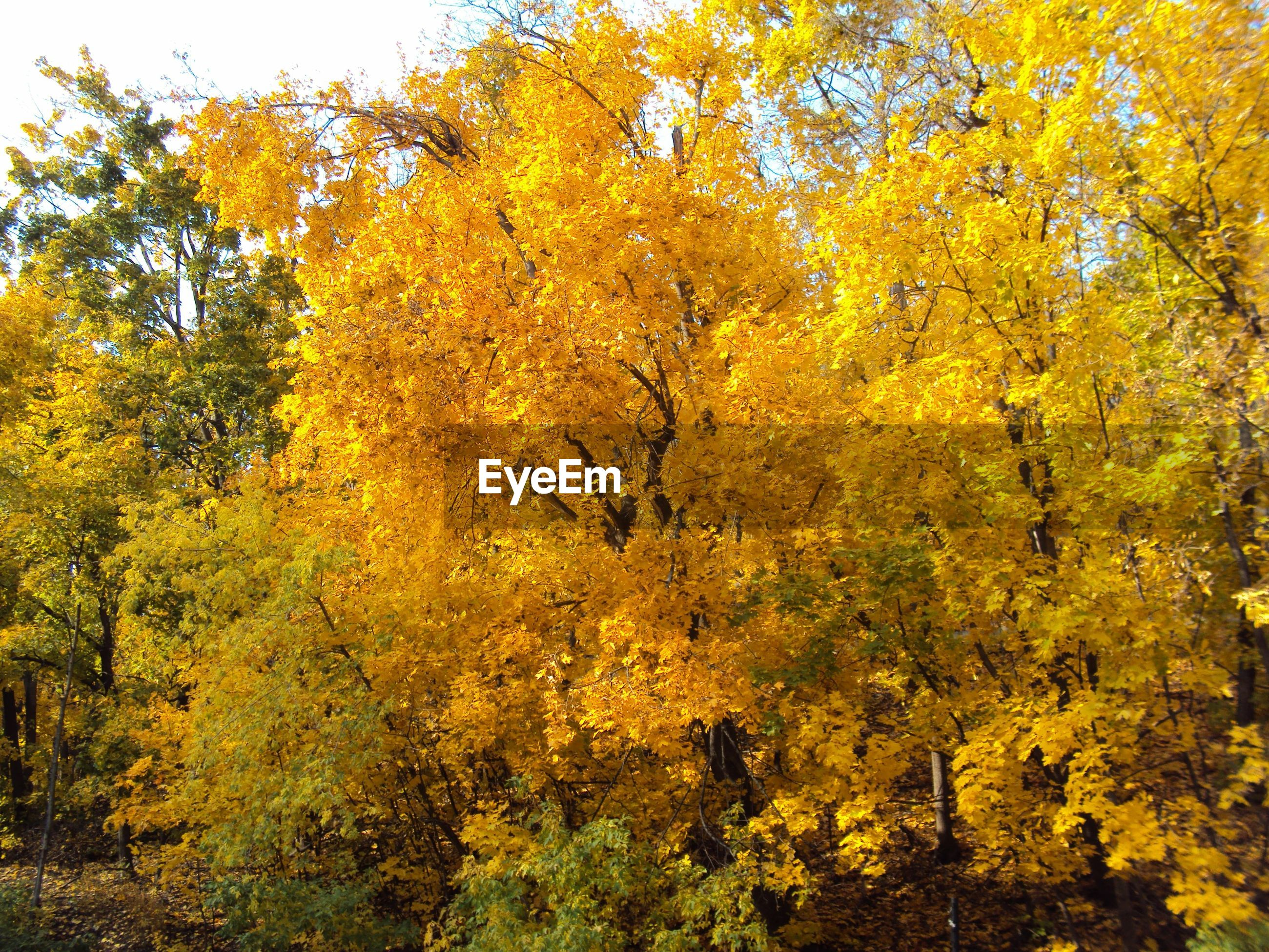 tree, yellow, autumn, growth, change, beauty in nature, season, nature, branch, tranquility, lush foliage, tranquil scene, scenics, leaf, green color, day, forest, no people, outdoors, orange color