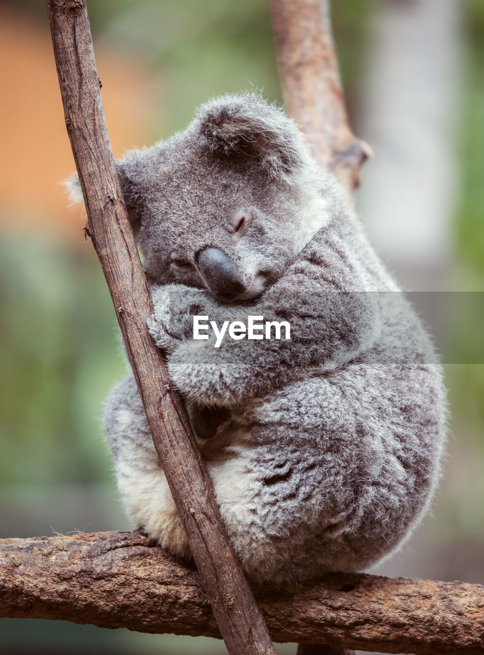 Close-up of koala perching on tree