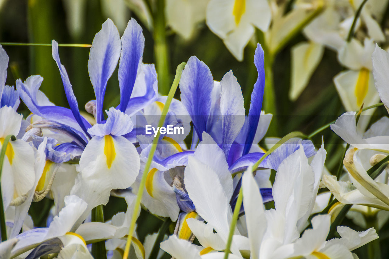 flowering plant, flower, vulnerability, fragility, beauty in nature, plant, petal, freshness, growth, close-up, purple, flower head, inflorescence, nature, no people, white color, day, botany, outdoors, selective focus