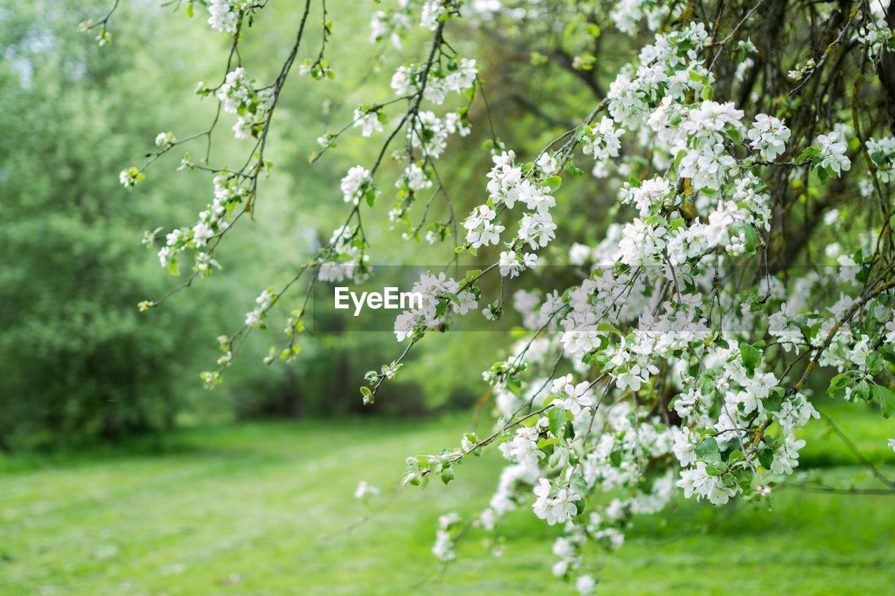 Flowering Tree Growing At Park