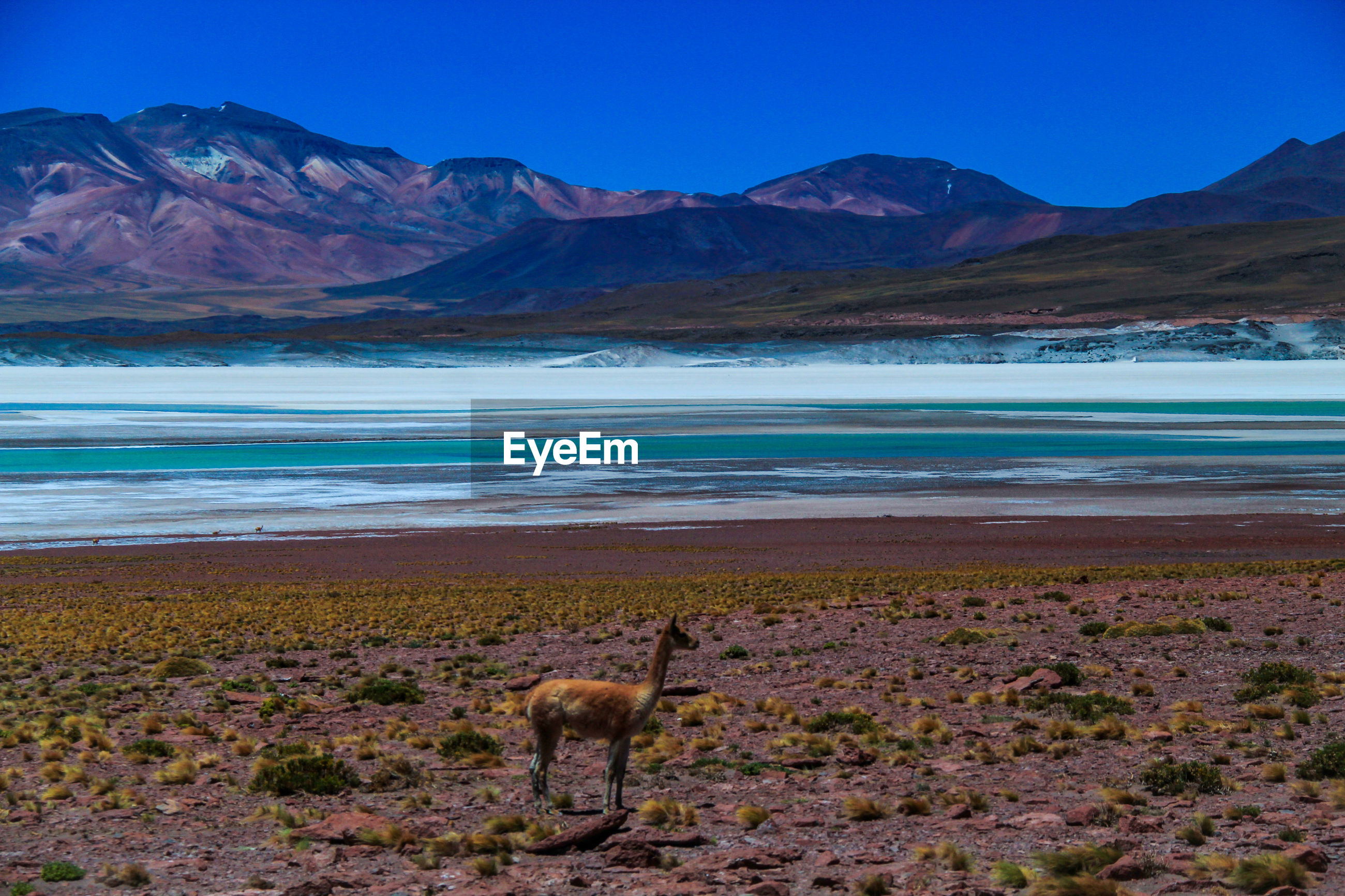 View of an alpaca next to a salt lake in the mountains