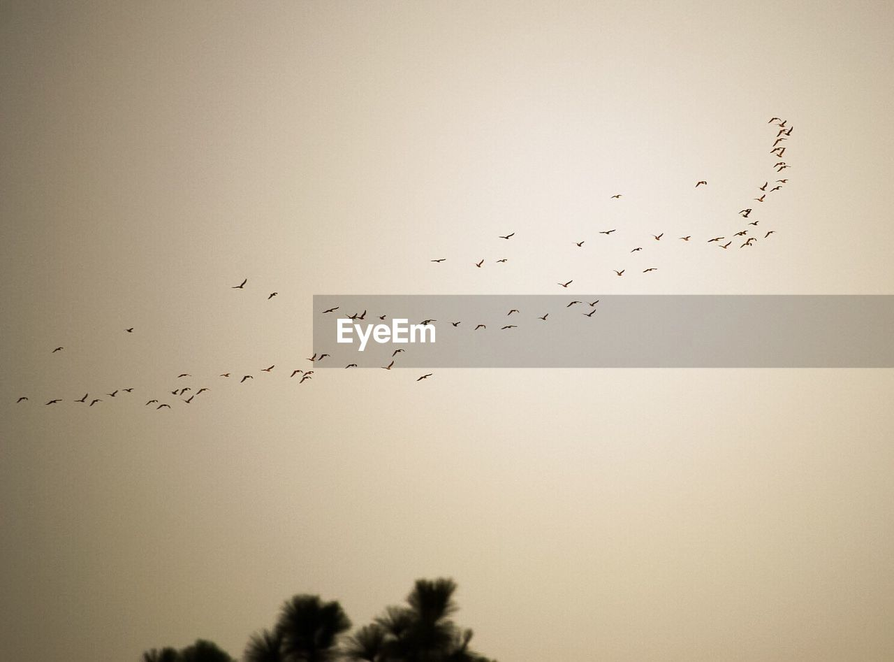 large group of animals, flock of birds, bird, migrating, flying, animal themes, animals in the wild, nature, togetherness, no people, animal wildlife, silhouette, sky, low angle view, beauty in nature, outdoors, clear sky, day