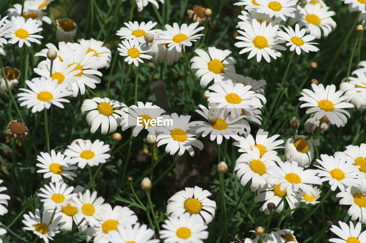 flowering plant, flower, freshness, petal, beauty in nature, plant, fragility, vulnerability, flower head, growth, inflorescence, close-up, daisy, pollen, no people, nature, yellow, day, white color, field, outdoors