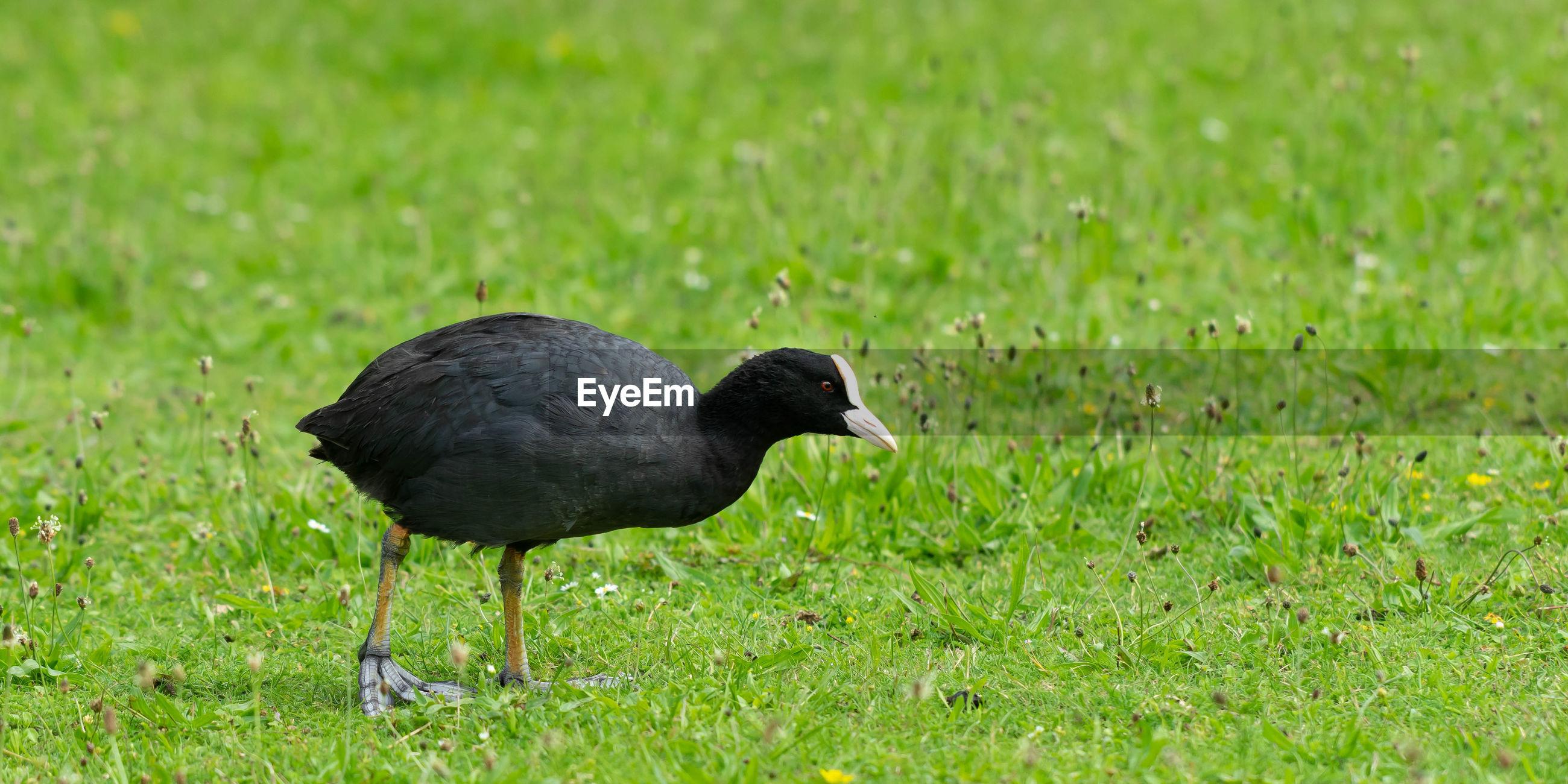 BLACK BIRD ON A GRASS