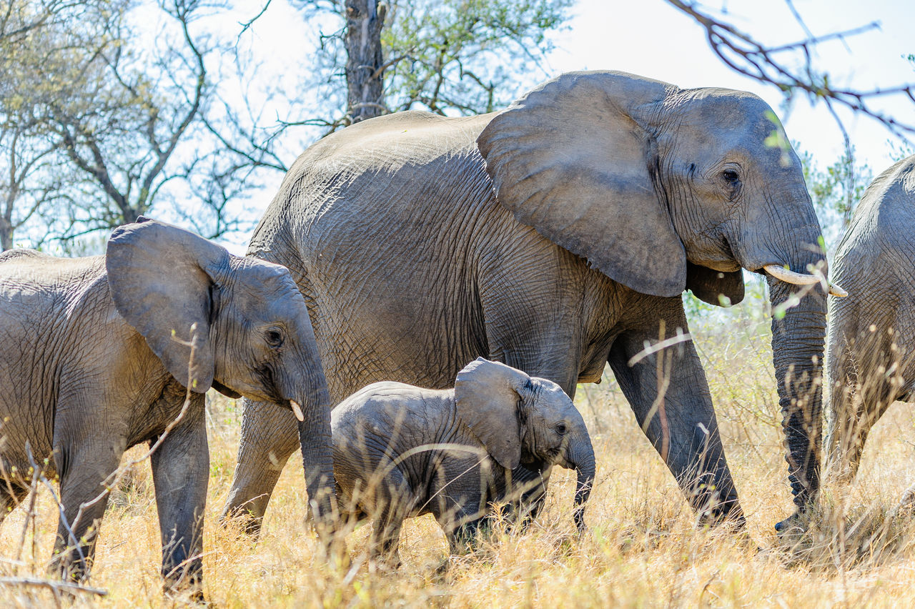 animal, animal themes, mammal, group of animals, animal wildlife, animals in the wild, elephant, plant, tree, vertebrate, nature, safari, young animal, day, no people, focus on foreground, animal family, domestic animals, land, outdoors, animal trunk, african elephant, herbivorous