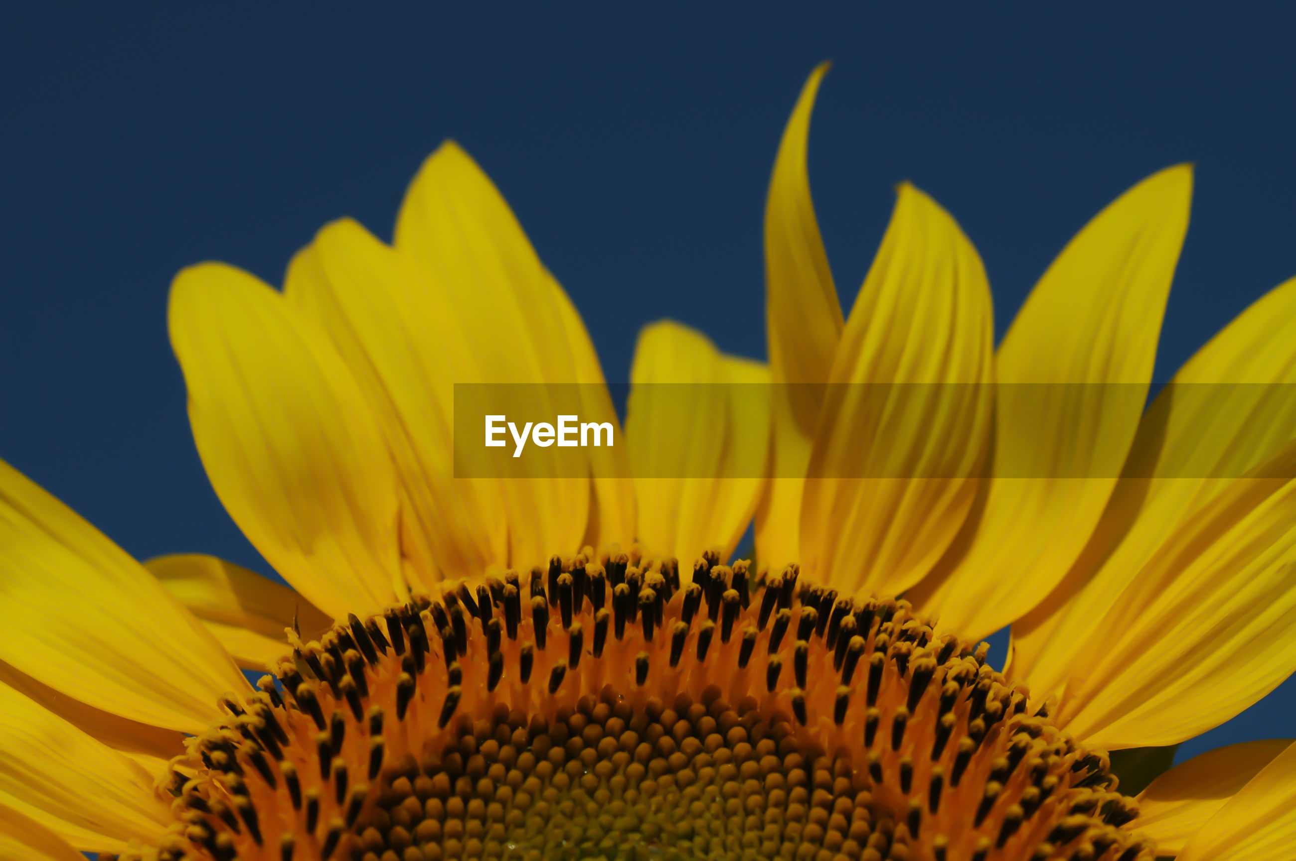 CLOSE-UP OF SUNFLOWER AGAINST YELLOW FLOWER