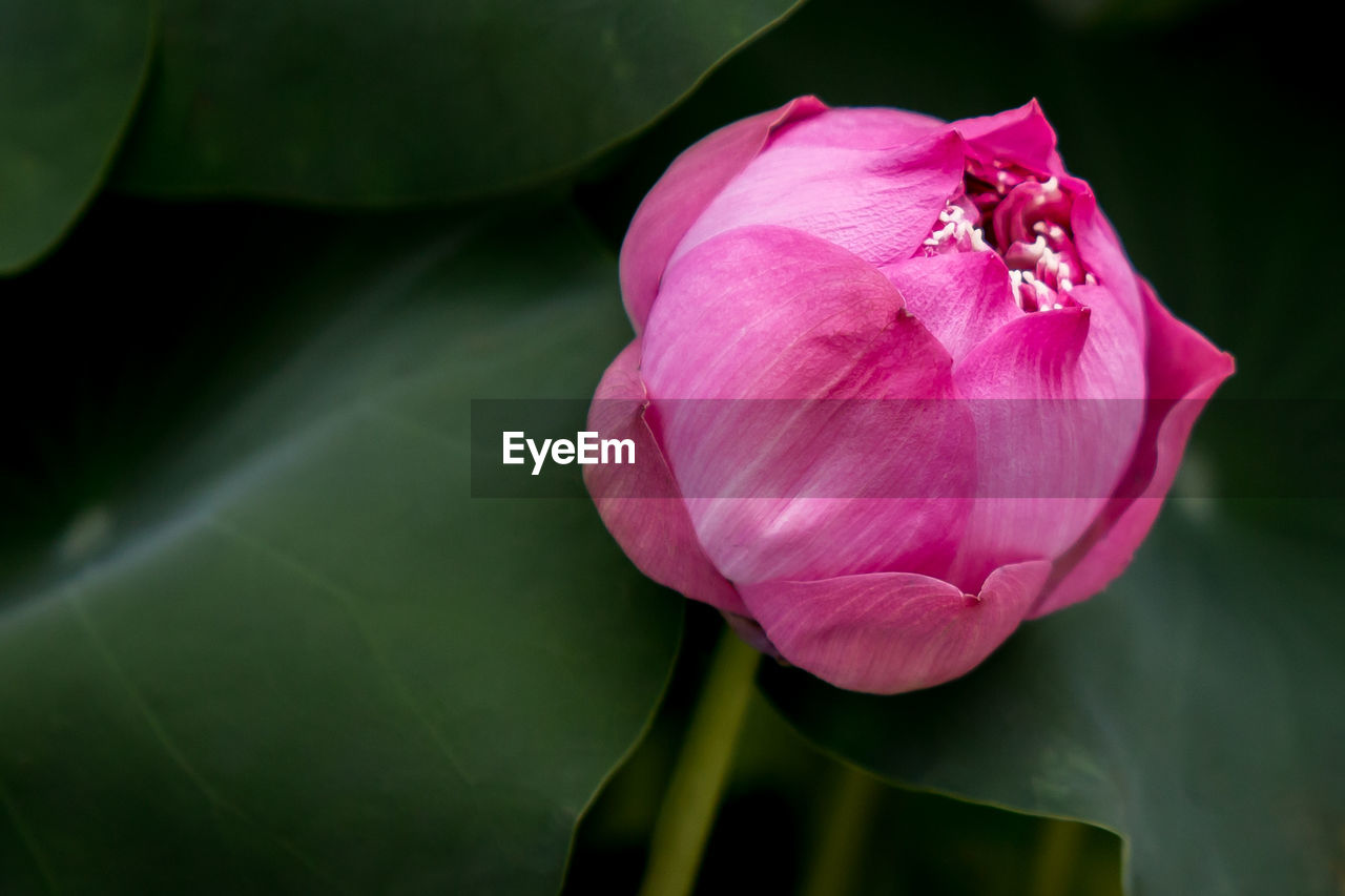 flowering plant, flower, beauty in nature, plant, petal, freshness, fragility, close-up, vulnerability, inflorescence, flower head, pink color, growth, plant part, nature, leaf, no people, rose, focus on foreground, outdoors, sepal