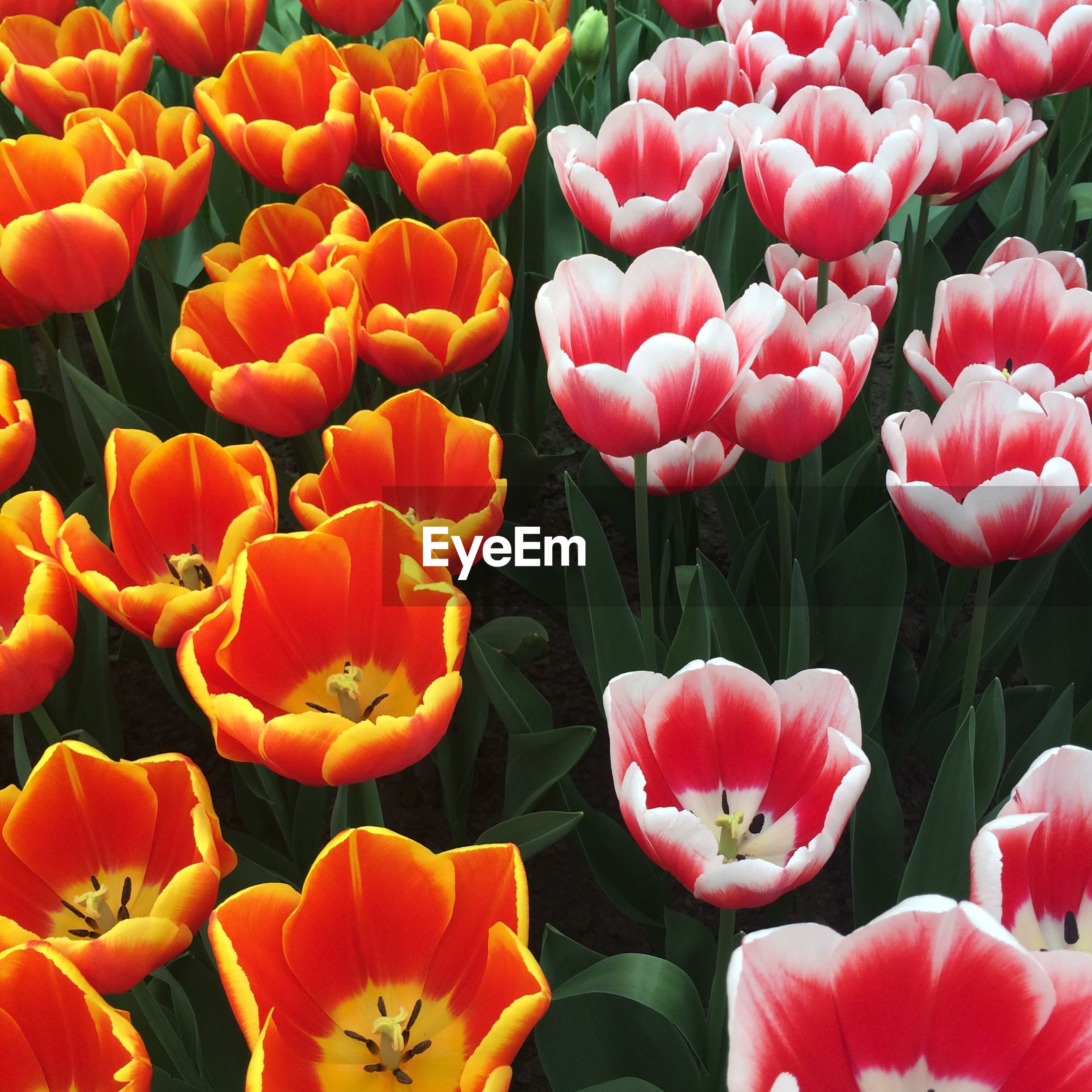 nature, plant, growth, beauty in nature, flower, fragility, freshness, orange color, blooming, no people, tulip, day, outdoors, close-up, flower head