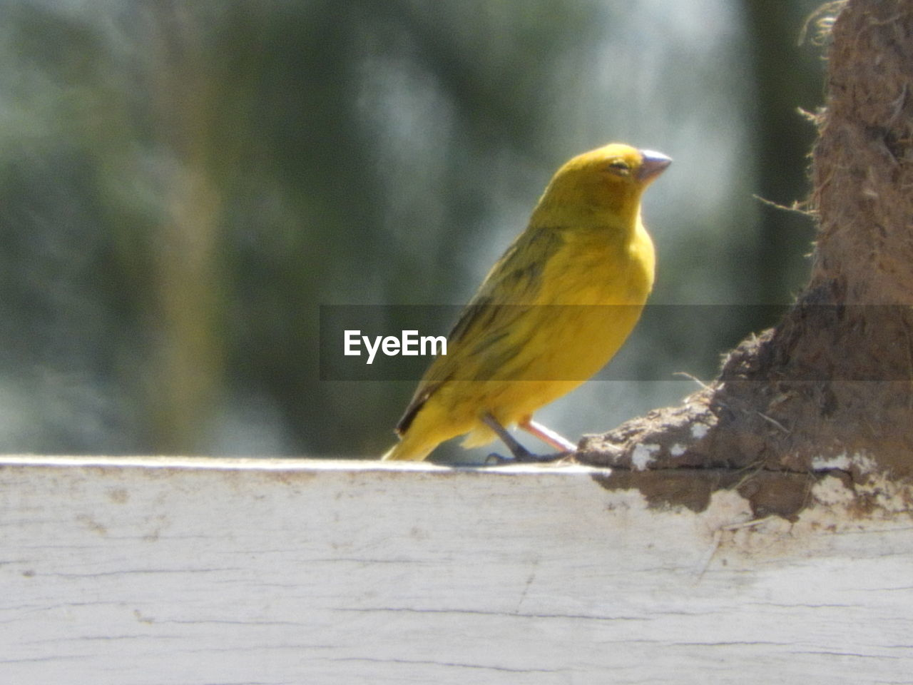 one animal, animals in the wild, bird, animal themes, perching, animal wildlife, day, no people, nature, yellow, focus on foreground, outdoors, songbird, close-up, robin, beauty in nature