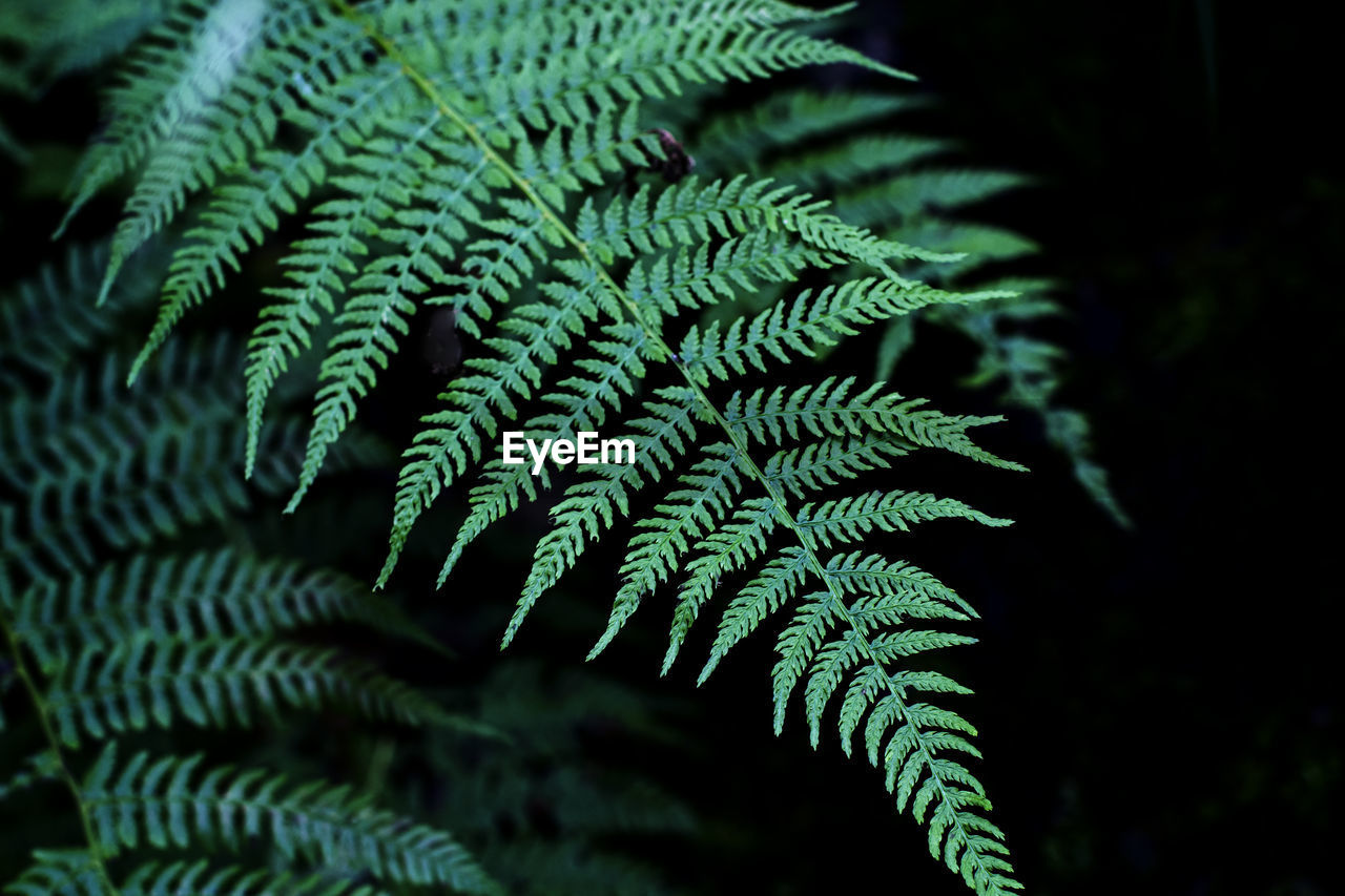 green color, growth, fern, close-up, plant, leaf, plant part, beauty in nature, no people, selective focus, nature, day, focus on foreground, tree, natural pattern, freshness, outdoors, tranquility, fragility, pine tree, leaves