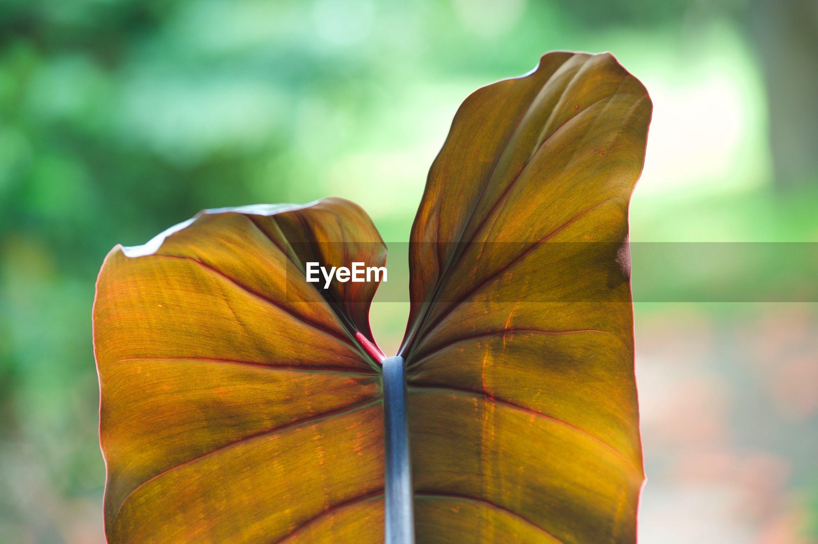 CLOSE-UP OF ORANGE LEAF ON PLANT OUTDOORS