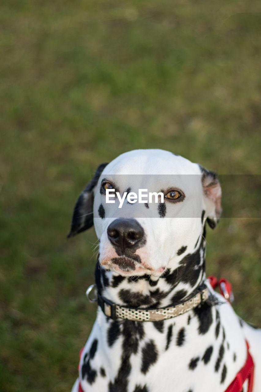 dalmatian dog, dog, animal themes, one animal, pets, domestic animals, mammal, portrait, looking at camera, day, pet collar, grass, no people, outdoors, nature, close-up