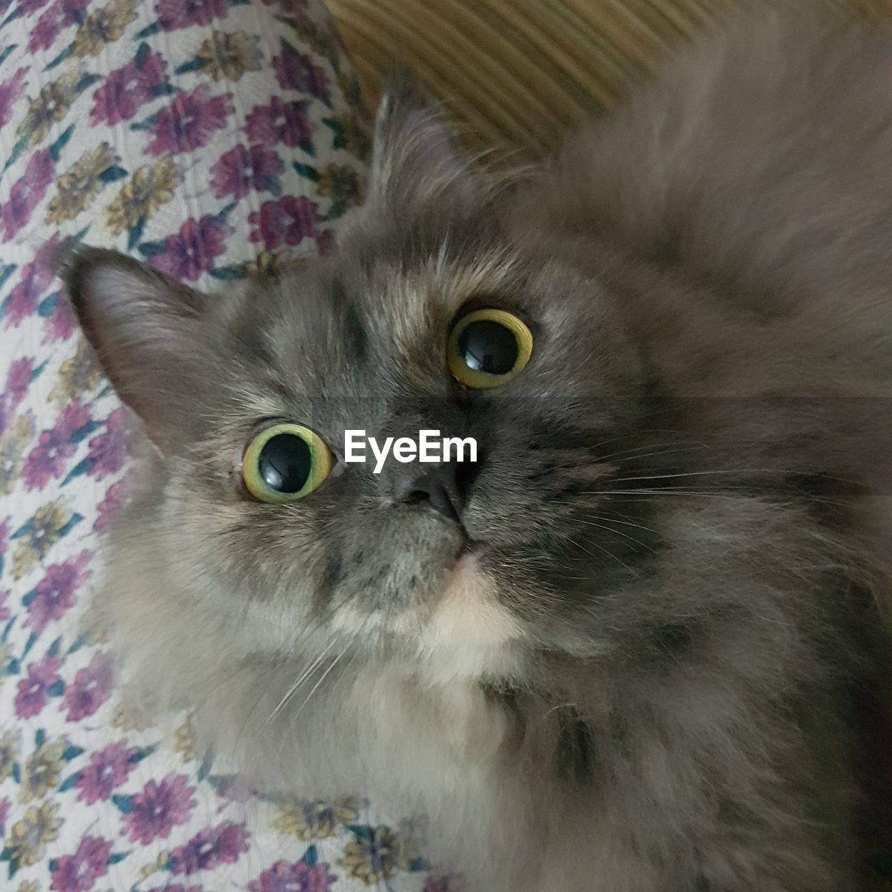 domestic, mammal, animal themes, domestic animals, pets, animal, cat, domestic cat, one animal, feline, vertebrate, indoors, looking at camera, portrait, whisker, close-up, no people, relaxation, home interior, high angle view, persian cat, animal eye, animal head