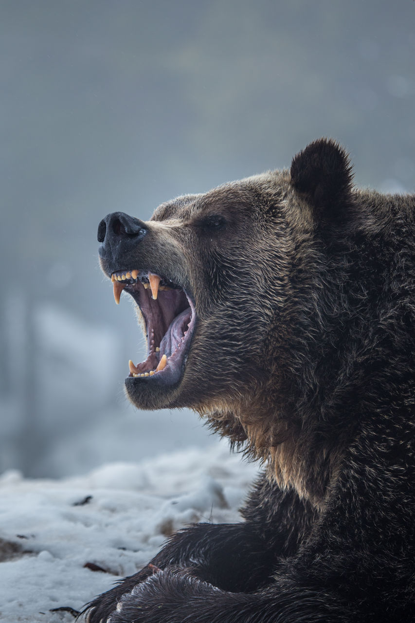 Close-Up Of Grizzly Bear With Mouth Open Sitting On Snow Covered Field