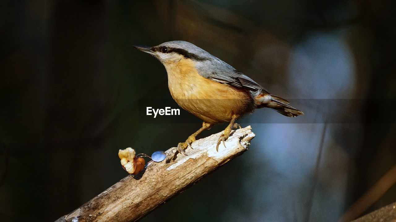 bird, animal, animal themes, animal wildlife, animals in the wild, vertebrate, one animal, perching, focus on foreground, close-up, no people, day, wood - material, branch, nature, outdoors, full length, looking away, beauty in nature, tree