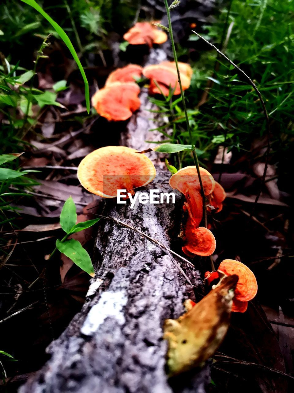 mushroom, plant, fungus, growth, nature, toadstool, land, close-up, no people, tree, beauty in nature, selective focus, day, food, forest, vegetable, edible mushroom, orange color, field, outdoors