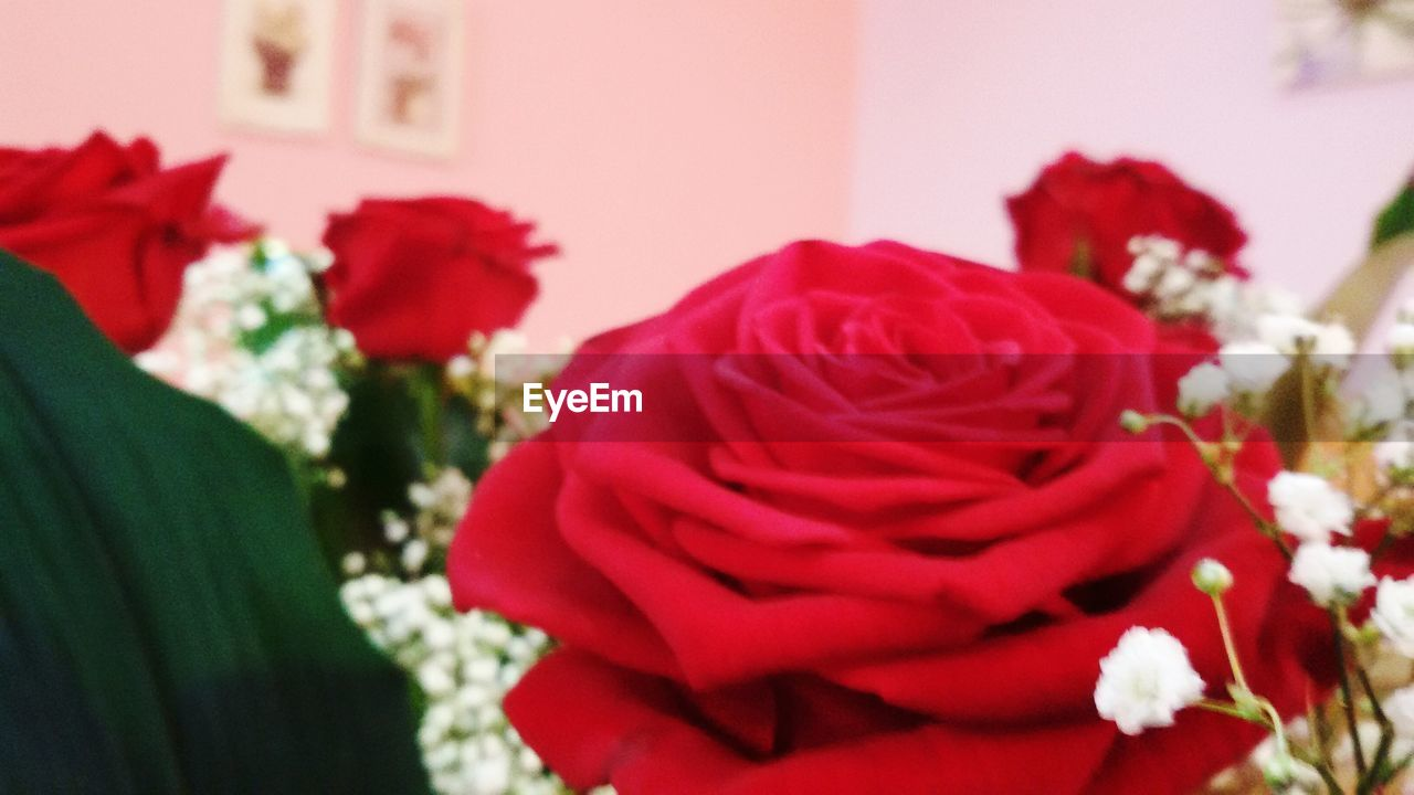 flower, red, petal, rose - flower, beauty in nature, fragility, nature, flower head, indoors, close-up, no people, freshness, day