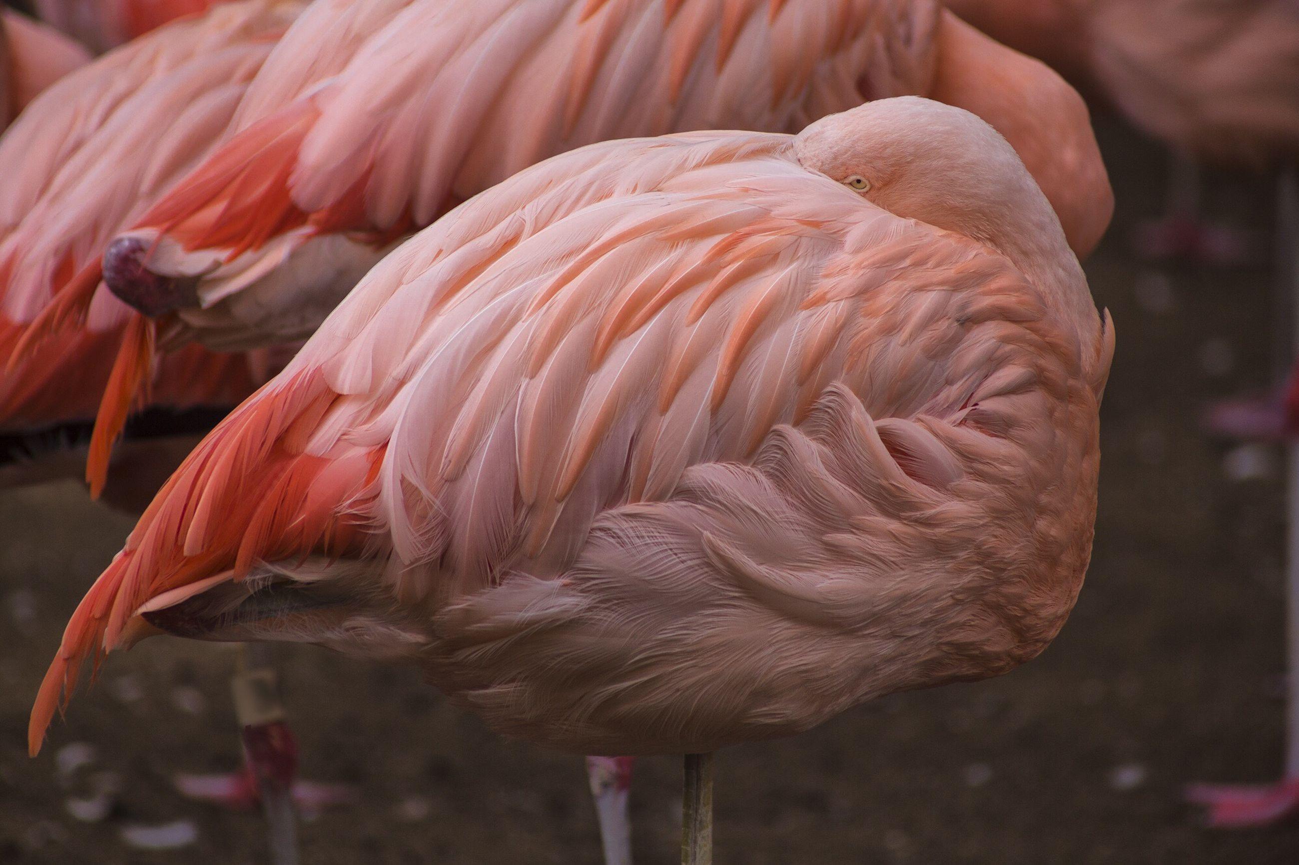Flamingoes preening on field