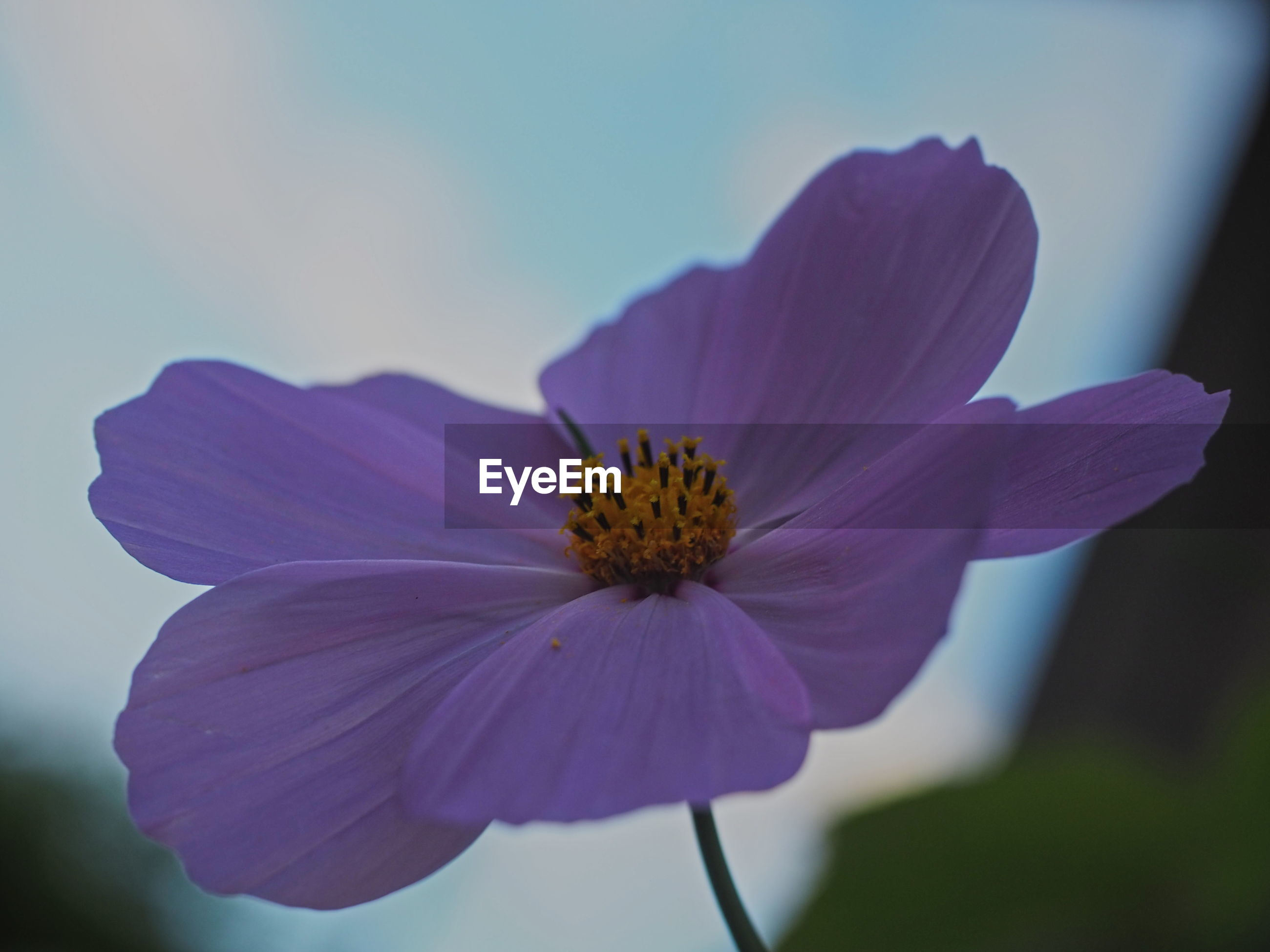 Close-up of purple cosmos flower