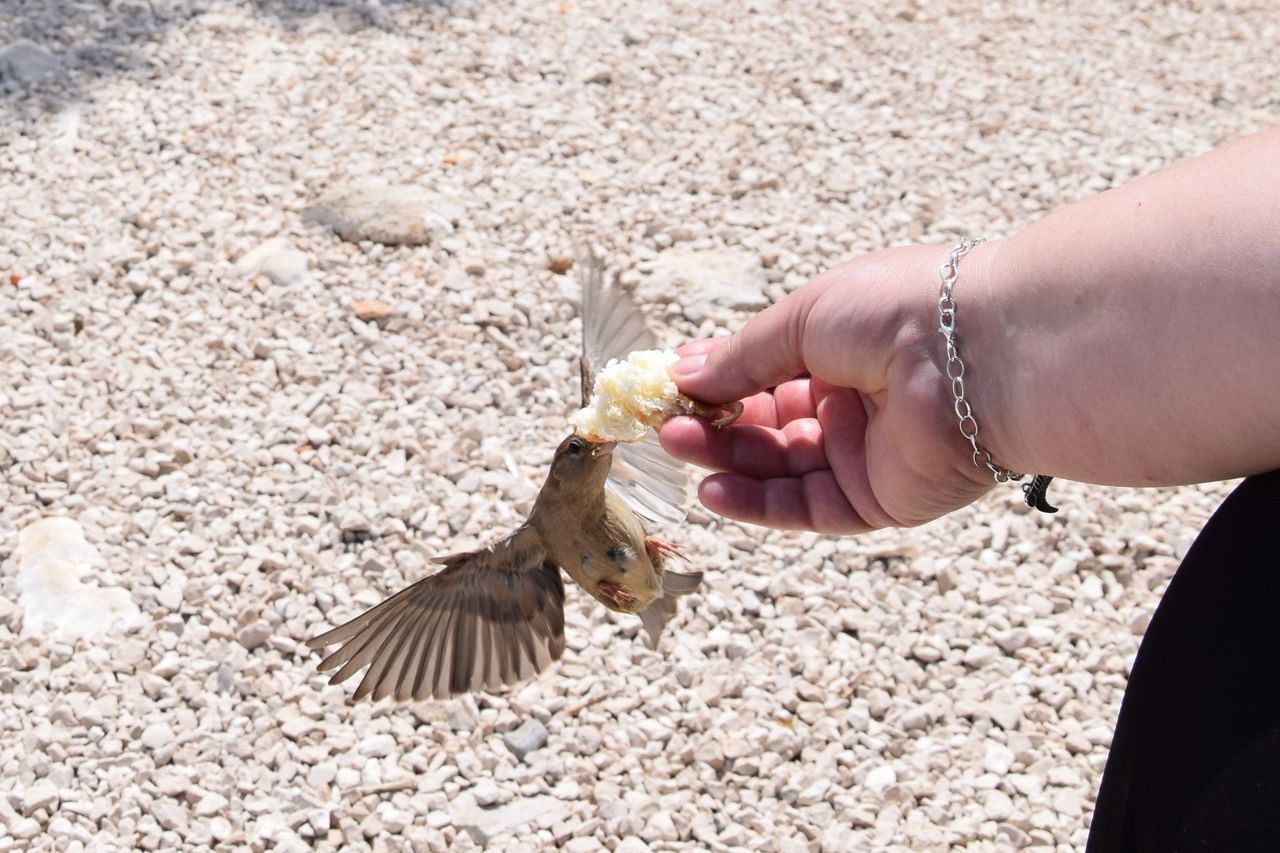 human hand, human body part, one person, hand, bird, holding, vertebrate, feeding, animal wildlife, day, one animal, animals in the wild, real people, food, nature, flying, adult, outdoors, human limb, finger
