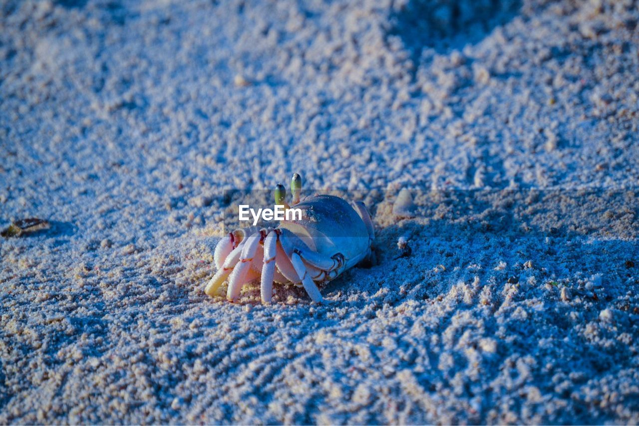 hermit crab, one animal, beach, animal themes, sand, crab, sea life, selective focus, animals in the wild, animal wildlife, nature, day, close-up, outdoors, crustacean, no people, beauty in nature, undersea