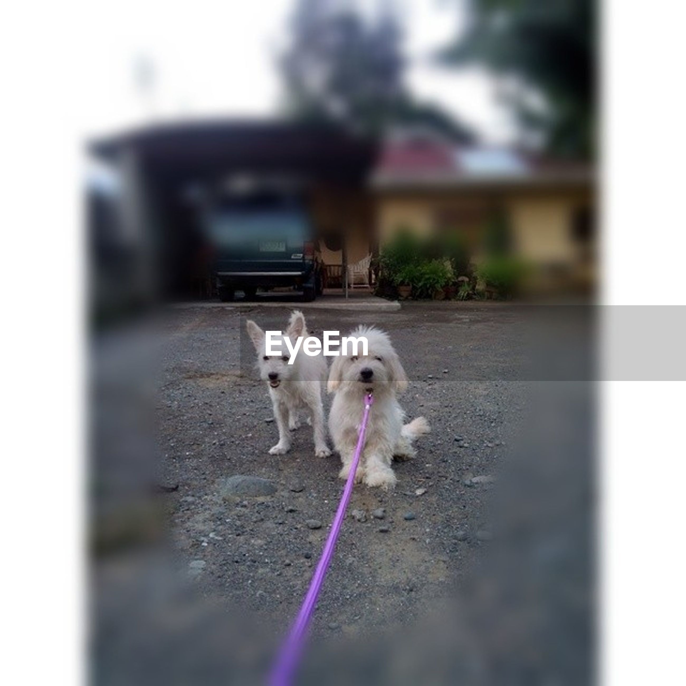 domestic animals, animal themes, mammal, one animal, pets, dog, auto post production filter, selective focus, portrait, transfer print, looking at camera, two animals, standing, livestock, white color, outdoors, focus on foreground, day, front view, full length
