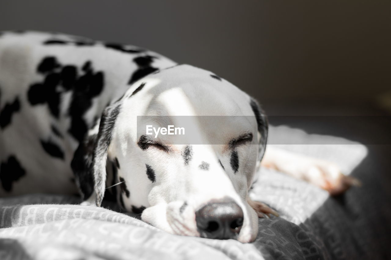 Close-Up Of Dalmatian Dog Sleeping On Bed At Home
