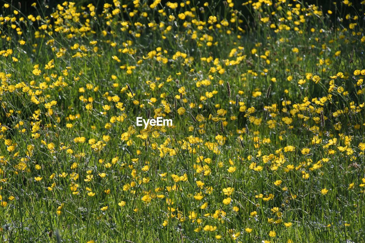FULL FRAME SHOT OF YELLOW FLOWERING PLANTS GROWING ON FIELD