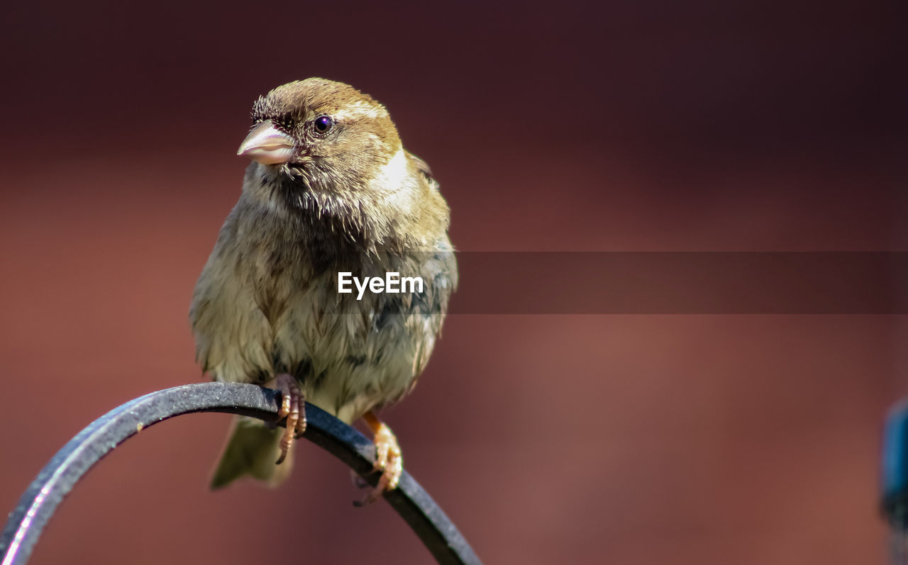 one animal, animal themes, bird, animal, vertebrate, animal wildlife, animals in the wild, close-up, focus on foreground, perching, no people, day, outdoors, nature, sparrow, copy space, full length, looking away, looking, beak, animal head