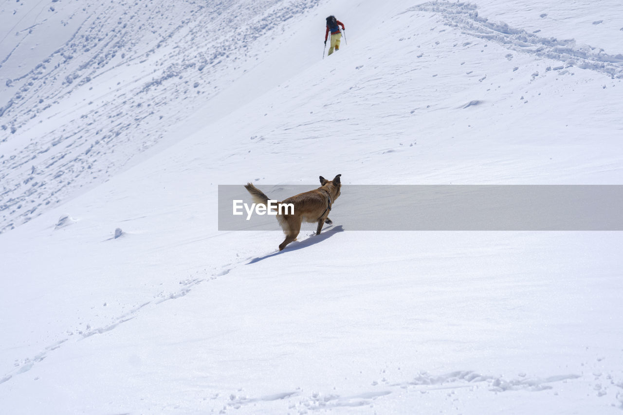 snow, winter, cold temperature, mammal, animal, animal themes, one animal, pets, domestic, domestic animals, vertebrate, dog, canine, covering, white color, beauty in nature, nature, land, field, snowcapped mountain