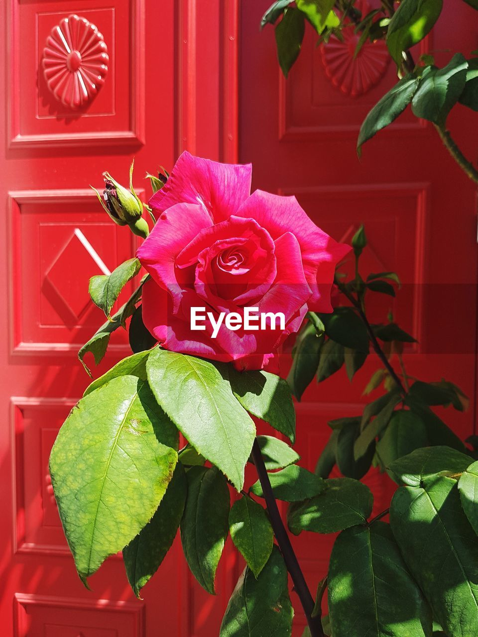 plant, flower, flowering plant, leaf, plant part, beauty in nature, pink color, growth, petal, freshness, close-up, flower head, vulnerability, fragility, red, nature, no people, inflorescence, rose, green color, outdoors