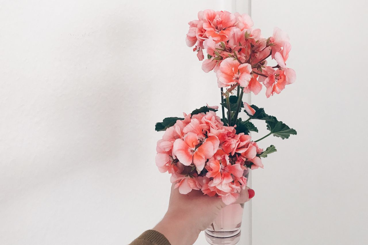 flower, human hand, fragility, one person, pink color, white background, studio shot, petal, holding, freshness, human body part, close-up, real people, beauty in nature, flower head, indoors, nature, bouquet, day, people