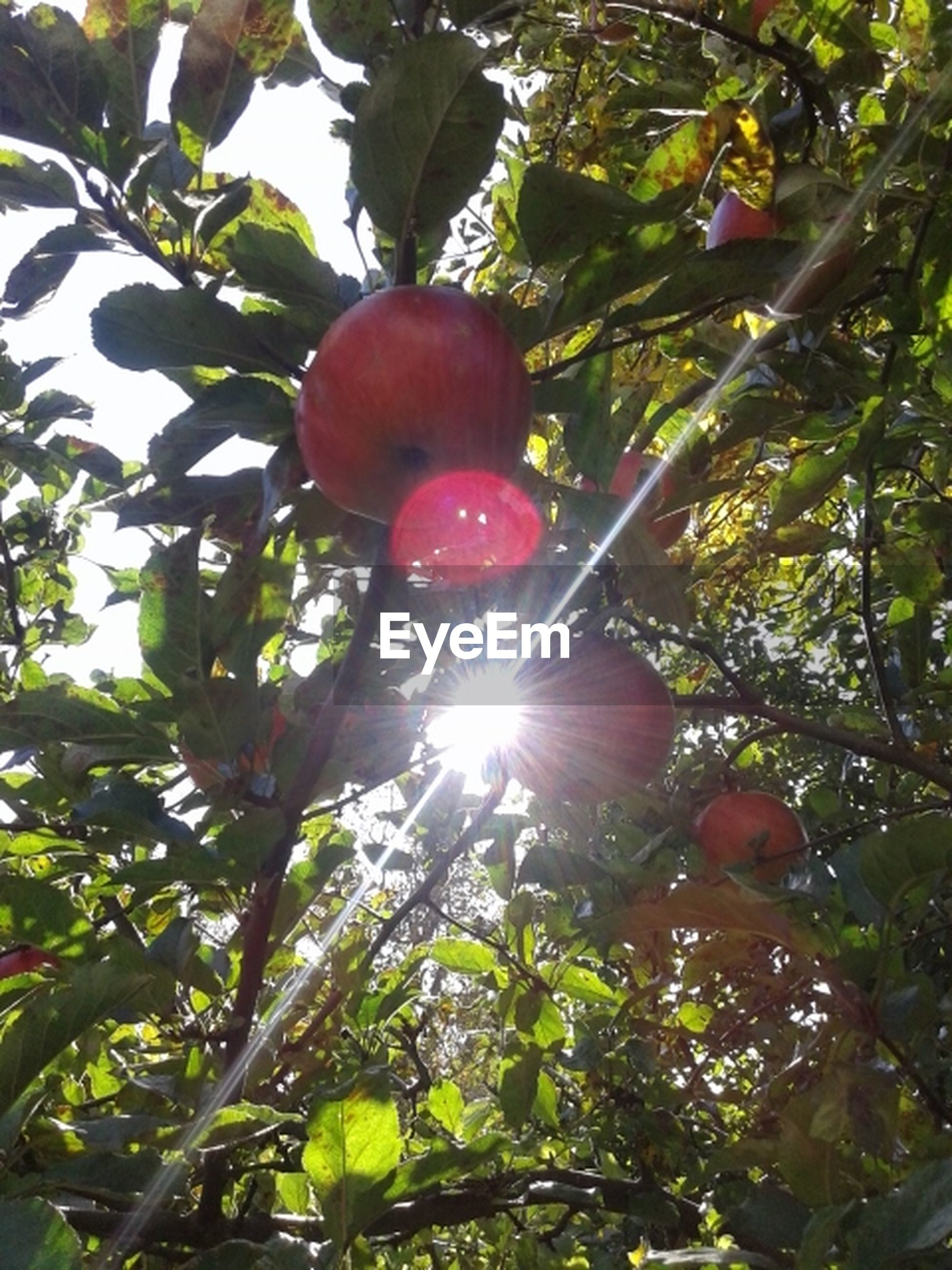 tree, low angle view, branch, sun, growth, fruit, leaf, sunlight, food and drink, nature, lens flare, sunbeam, beauty in nature, outdoors, freshness, green color, day, food, close-up, no people