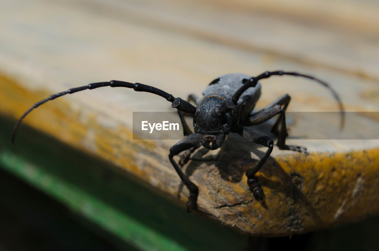 invertebrate, animal themes, insect, animals in the wild, animal wildlife, close-up, animal, one animal, black color, selective focus, no people, nature, focus on foreground, day, beetle, outdoors, arthropod, arachnid, wood - material, animal body part, animal leg
