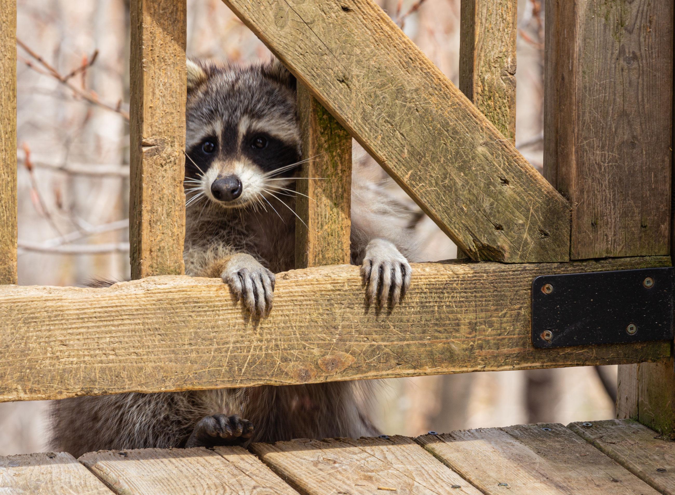 Portrait of raccoon through deck rails.