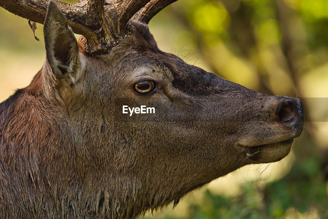 animal, animal themes, animal wildlife, one animal, animals in the wild, mammal, focus on foreground, vertebrate, close-up, animal body part, no people, day, animal head, looking, looking away, herbivorous, domestic animals, outdoors, nature, horned, profile view, animal eye