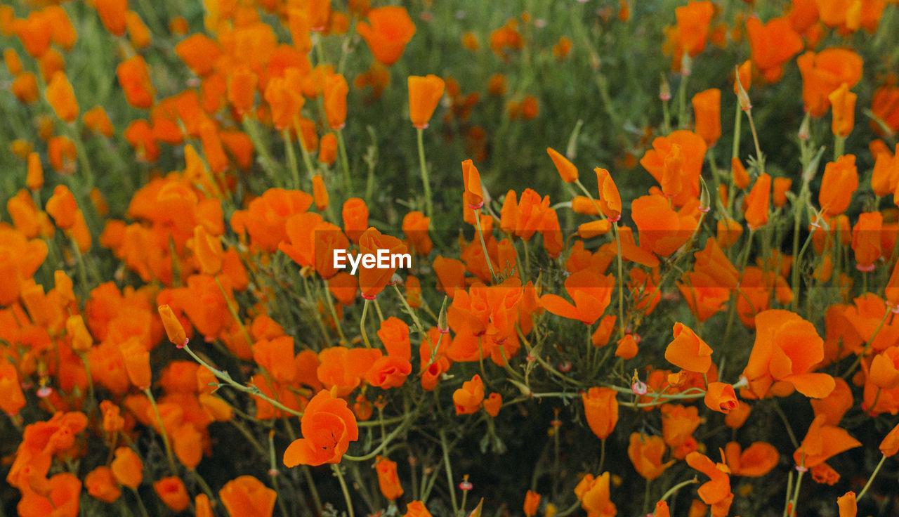 CLOSE-UP OF ORANGE FLOWERING PLANTS IN FIELD