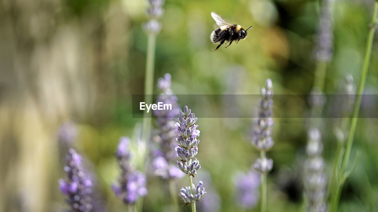 flower, animal themes, animal, animals in the wild, animal wildlife, flowering plant, one animal, plant, insect, beauty in nature, fragility, vulnerability, invertebrate, flying, purple, freshness, petal, bee, growth, focus on foreground, no people, lavender, flower head, pollination, hovering