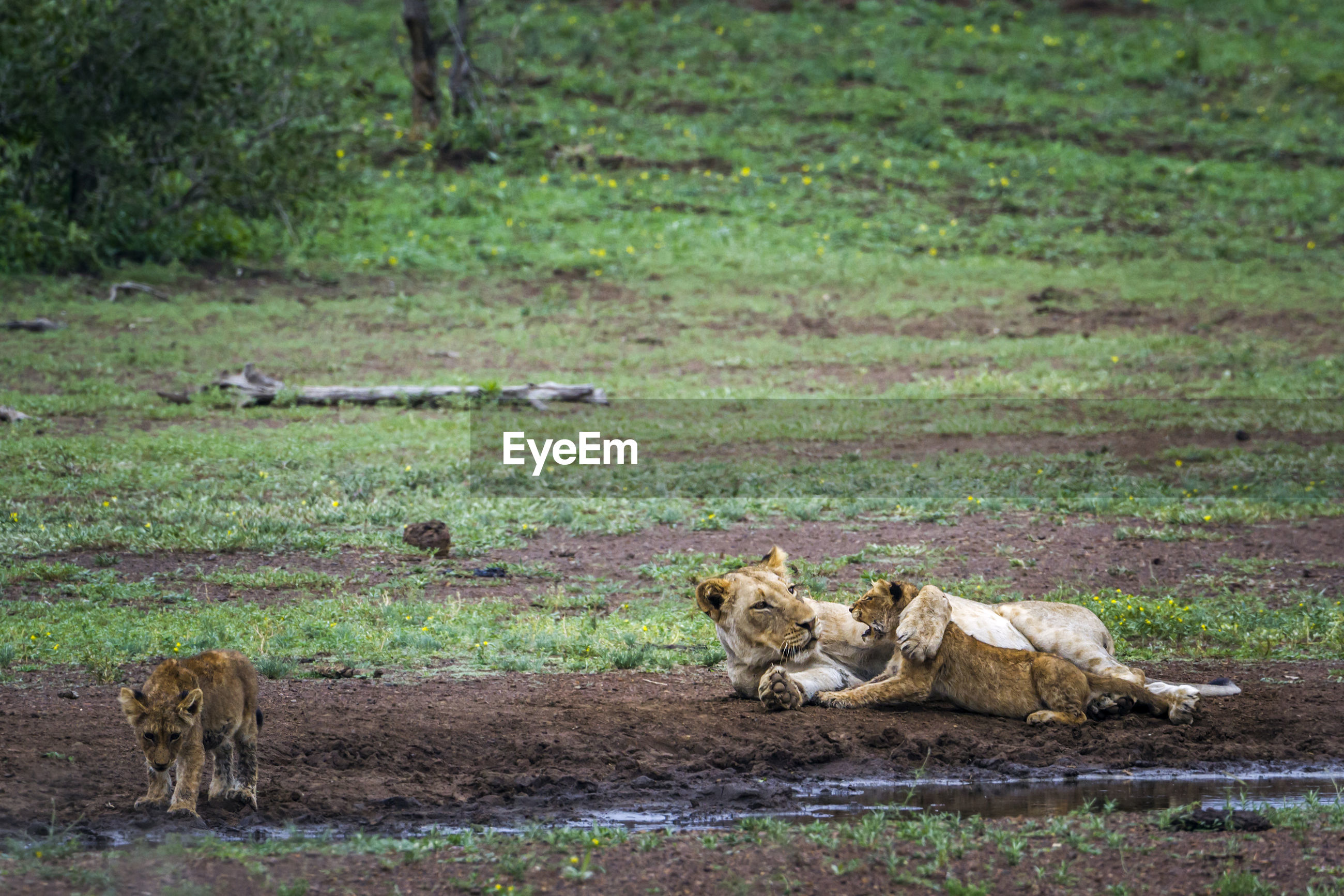 Lioness playing with cub on land