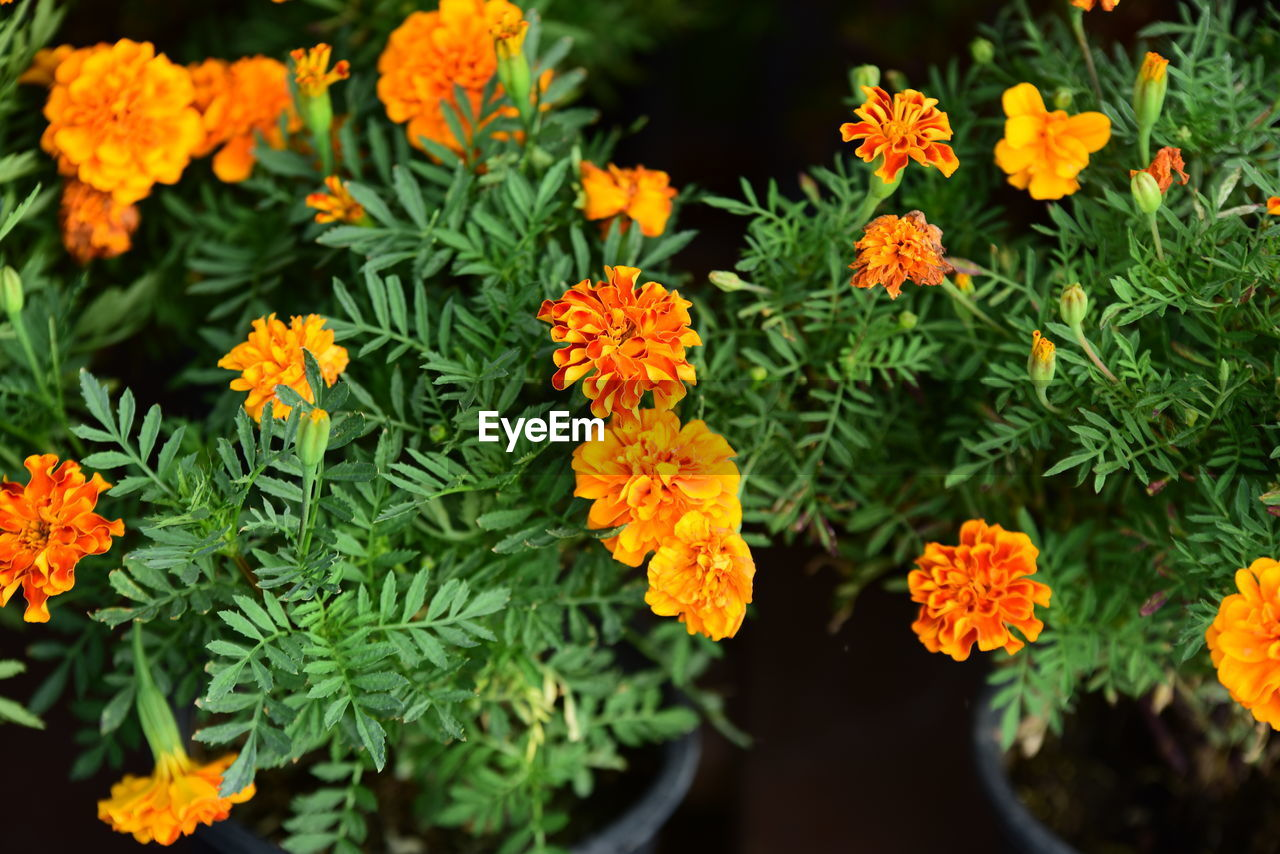 flowering plant, flower, plant, beauty in nature, fragility, vulnerability, freshness, growth, marigold, petal, inflorescence, flower head, nature, no people, orange color, close-up, green color, day, high angle view, botany, outdoors
