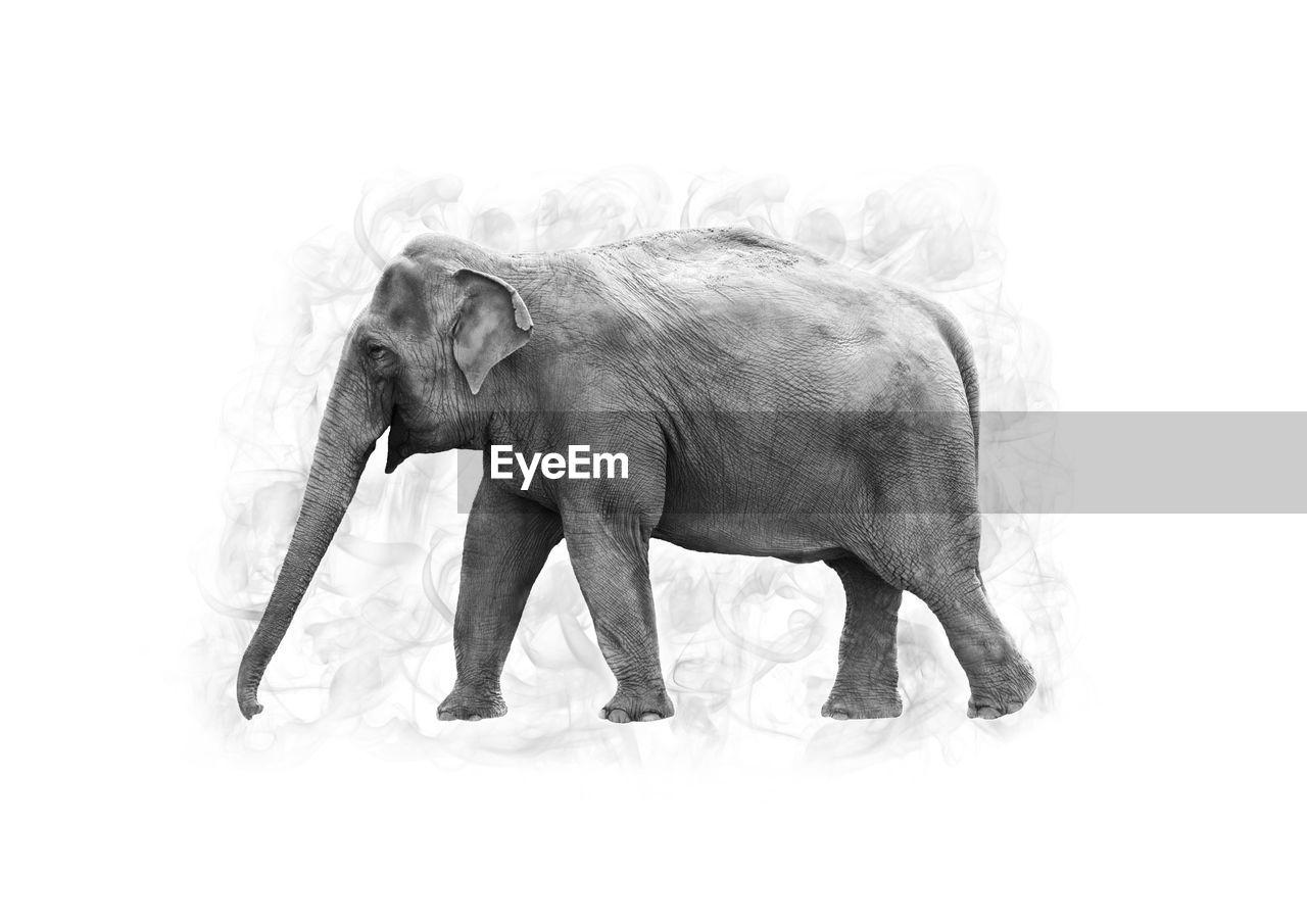 Canon 7D - ISO 400 - f/5 - 1/320 Blackandwhite Elephant Exhibition Nature Photoshop Edit Smoke Twycrosszoo Zoo Animals