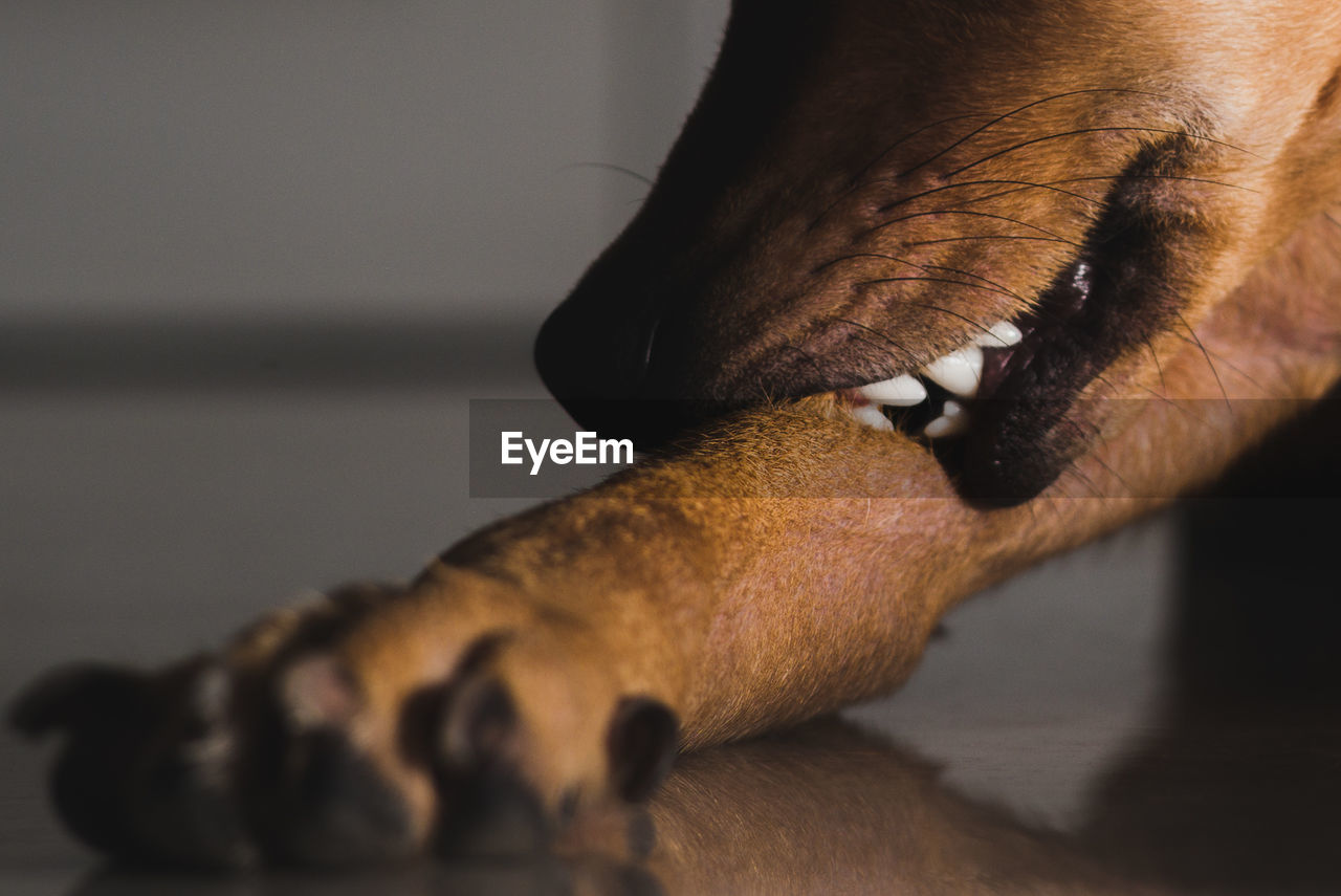 Close-Up Of Dog Biting Leg On Floor At Home