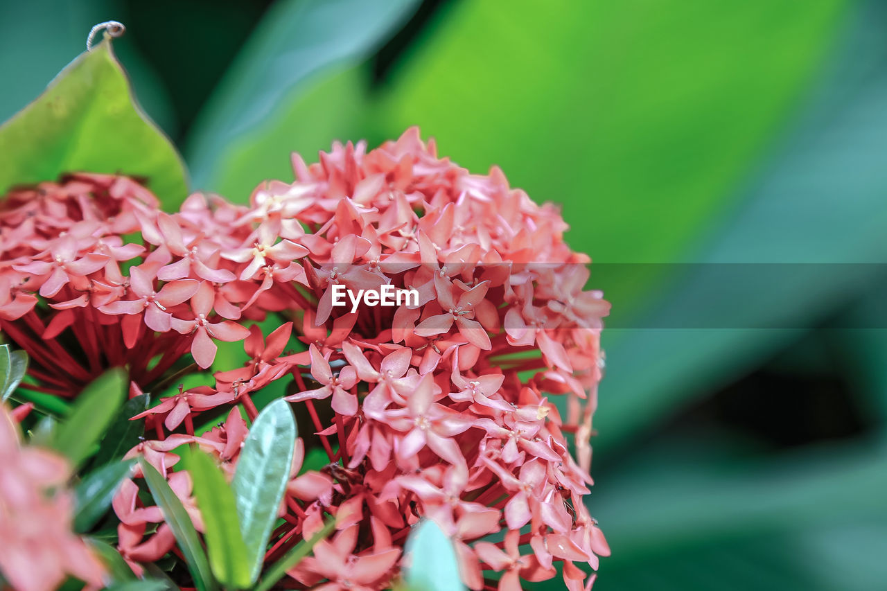 beauty in nature, growth, petal, flower, nature, fragility, ixora, flower head, freshness, close-up, plant, no people, outdoors, pink color, day, blooming
