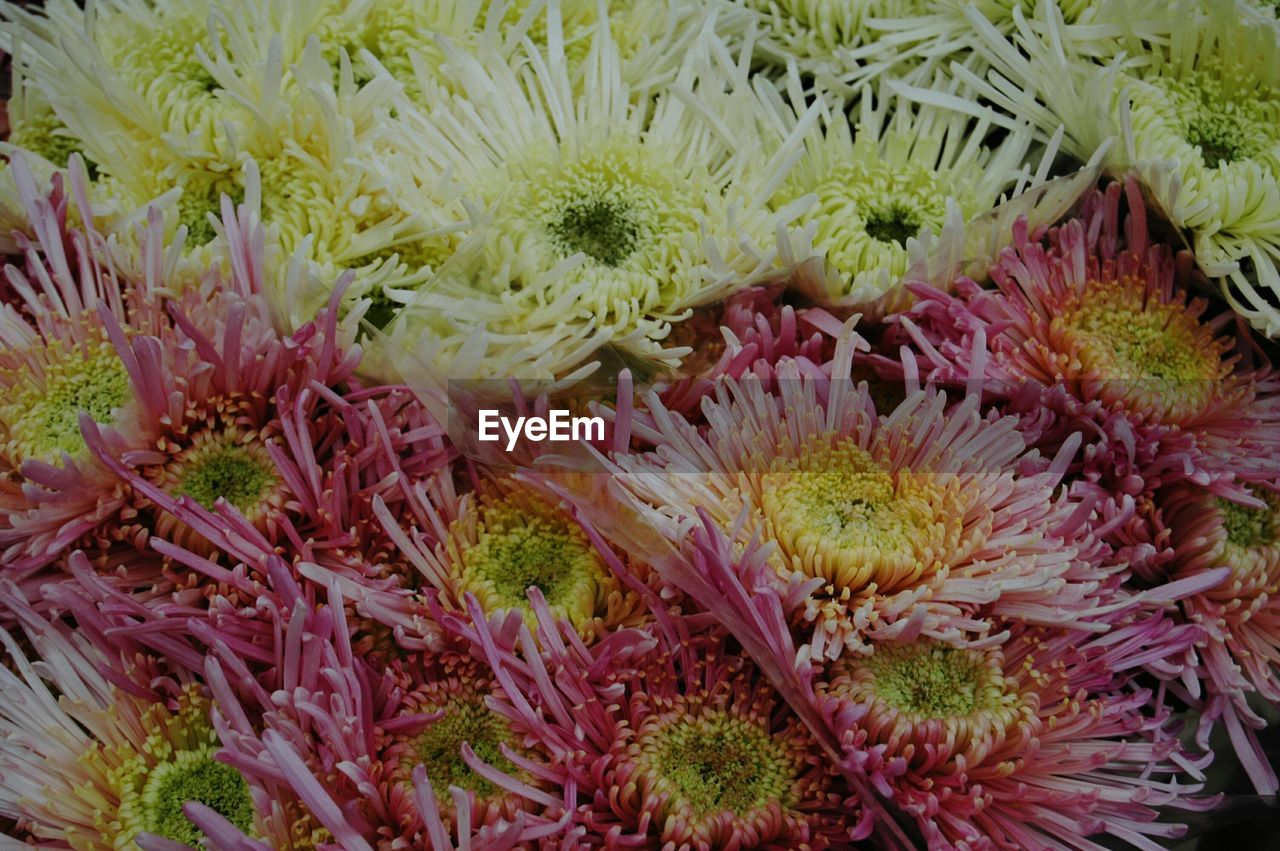 coral, beauty in nature, sea anemone, flower, no people, nature, close-up, fragility, pink color, undersea, chrysanthemum, underwater, growth, sea life, freshness, flower head, plant, animal themes, full frame, sea, outdoors, day, passion flower